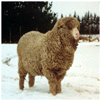 polwarth_sheep
